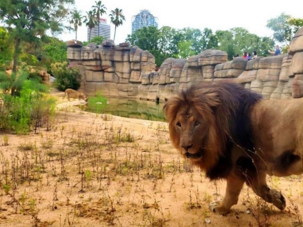La covid no puede con los leones del zoo de Barcelona