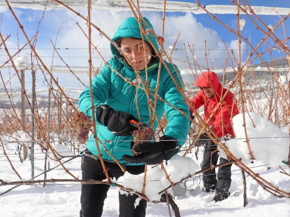 Vendimia en medio de la nieve para obtener un vino de hielo