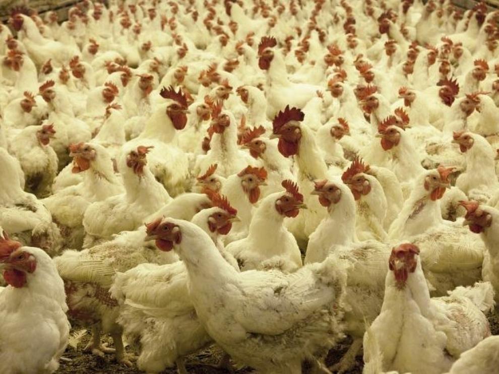 El desplome de los precios del pollo pone contra las cuerdas a más de 5.500 explotaciones