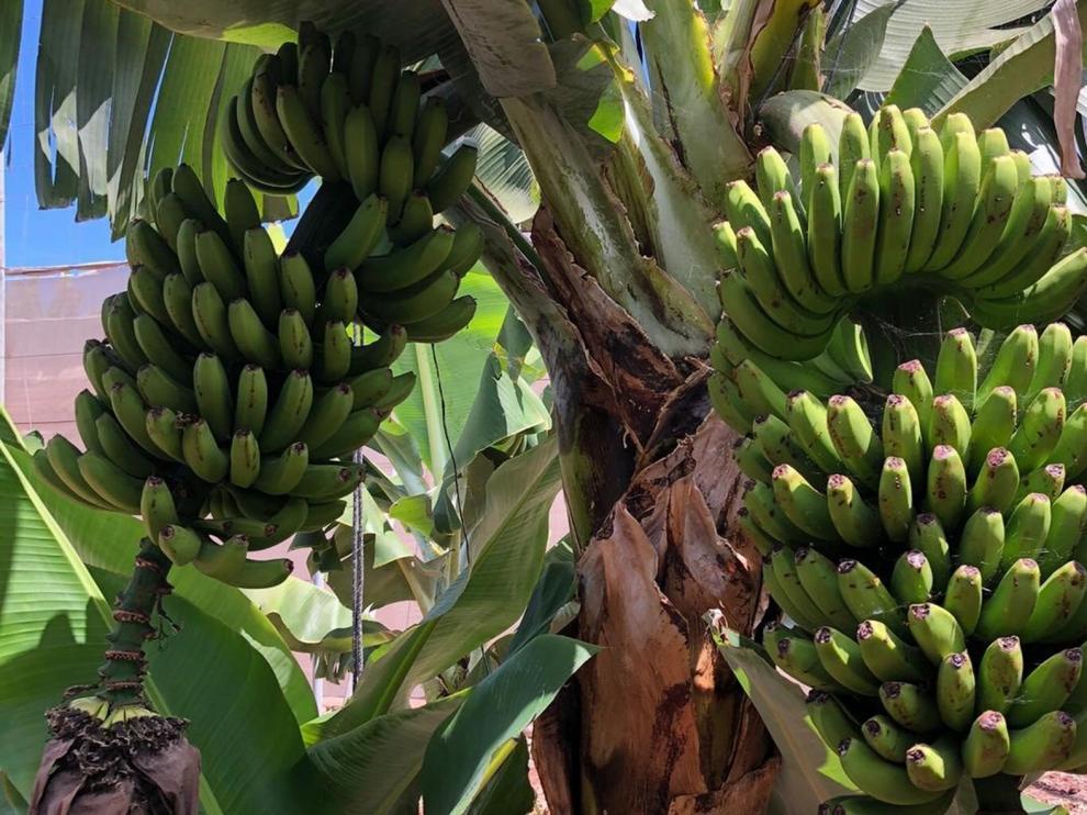 Restos dentales dicen que en el Mediterráneo se comía plátano hace 3.000 años