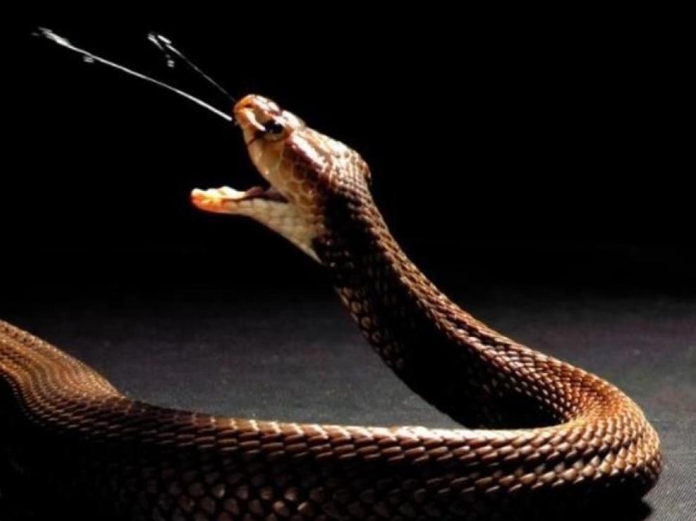 El veneno de las cobras evolucionó para defenderse de los predadores