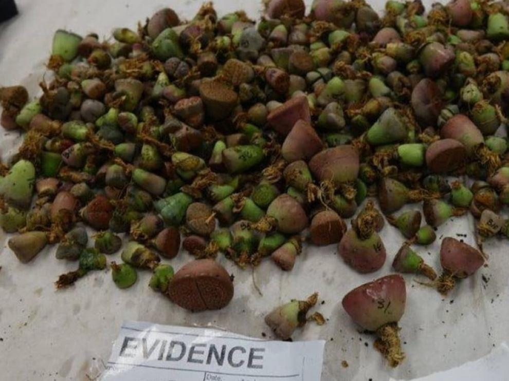 Condenada por entrar en Nueva Zelanda con mil cactus adheridos al cuerpo