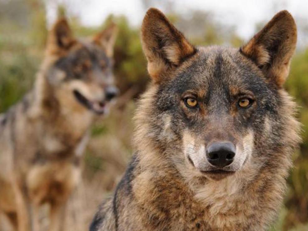 El PSOE del Alto Aragón se opone a la consideración del lobo como especie de protección especial
