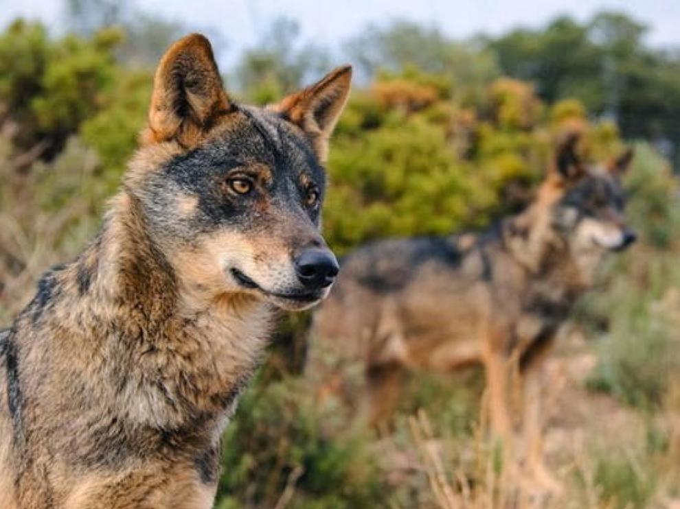 El PP de Huesca se suma al malestar de los ganaderos por la inclusión del lobo como especie protegida