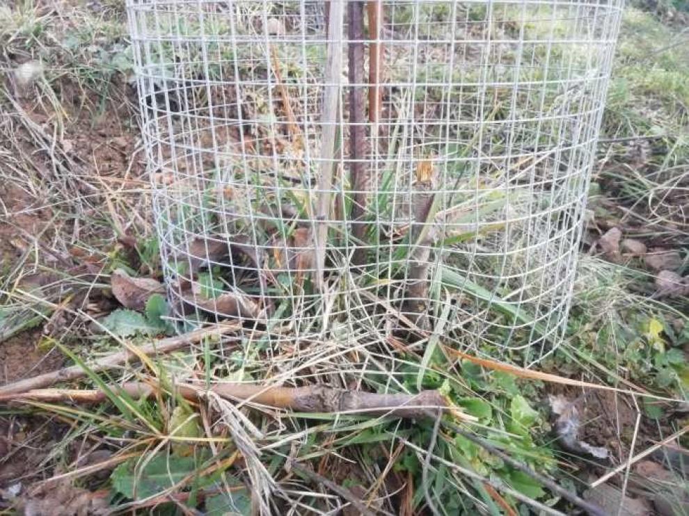 Denuncian destrozos en una plantación de manzanos autóctonos en Artosilla