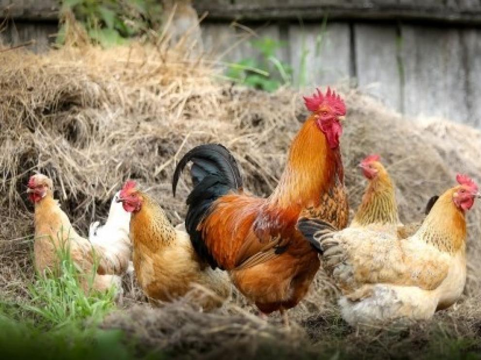 El Gobierno de Aragón establece medidas extraordinarias para prevenir la llegada de la gripe aviar