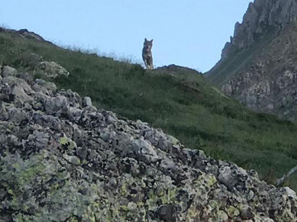 """UPA: """"La convivencia del oso y el lobo con la ganadería extensiva no es posible"""""""