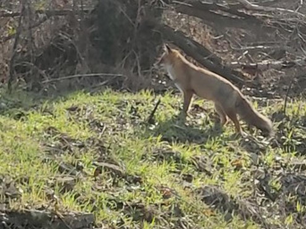 Una zorra merodea por Caballera