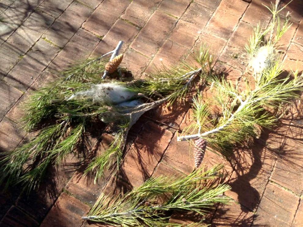 Procesionaria de los pinos