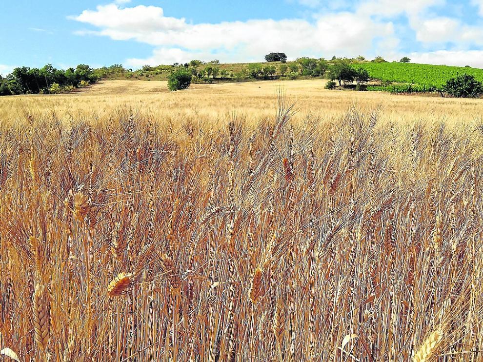 Campo de trigo en la comunidad aragonesa