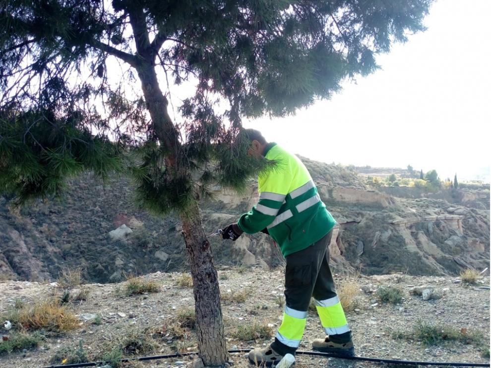 Operario de Parques y Jardines aplica tratamiento en pino local