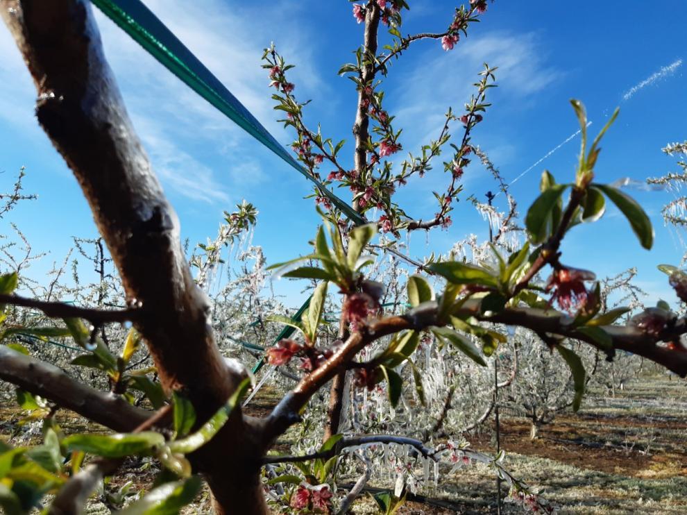 Detalle del hielo que cubría ayer por la mañana los frutales de varios municipios del Bajo Cinca.