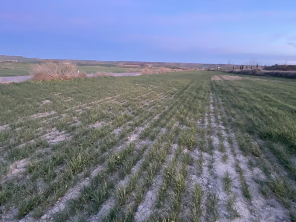 Campo de cereal en Los Monegros afectado por la falta de lluvias.