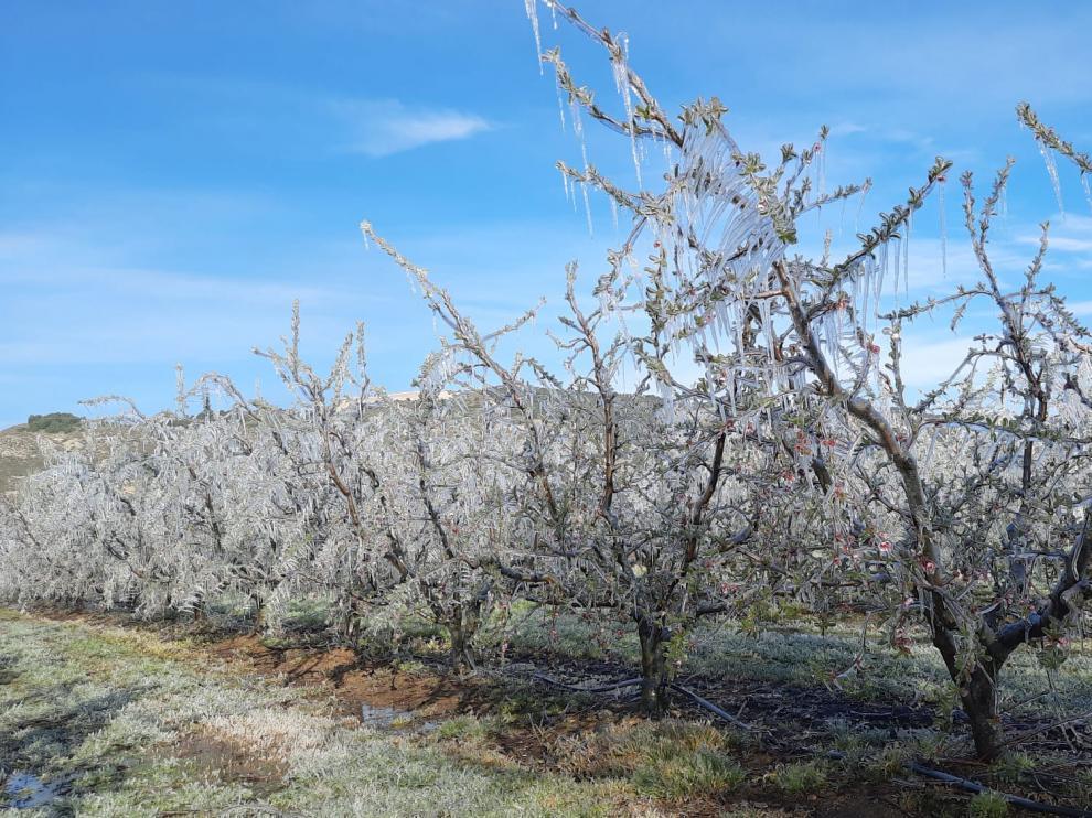 Los árboles frutales aparecieron el domingo con una capa de hielo tras una noche heladora.