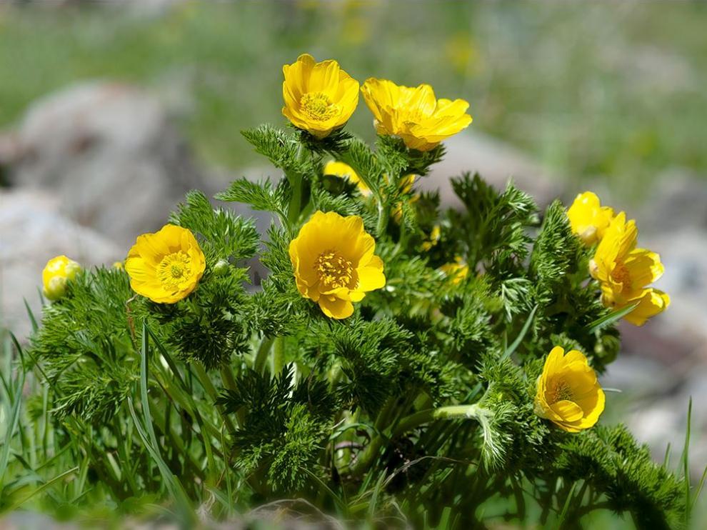 Adonis pyrenaica incluida en la exposición Vivir en las alturas Flora del Pirineo aragonés.