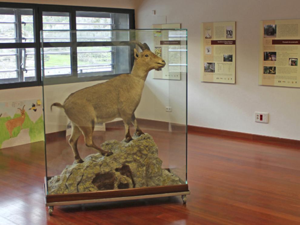 Último ejemplar de bucardo, 'Celia' o 'Laña' (para la población local), en la exposición del Centro de Visitantes del Parque Nacional de Ordesa, en Torla.