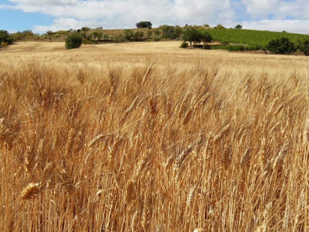 Campo de trigo.