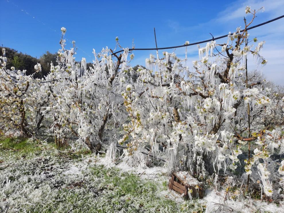 Así de helados amanecieron el pasado 21 de marzo muchos frutales en el Bajo Cinca.