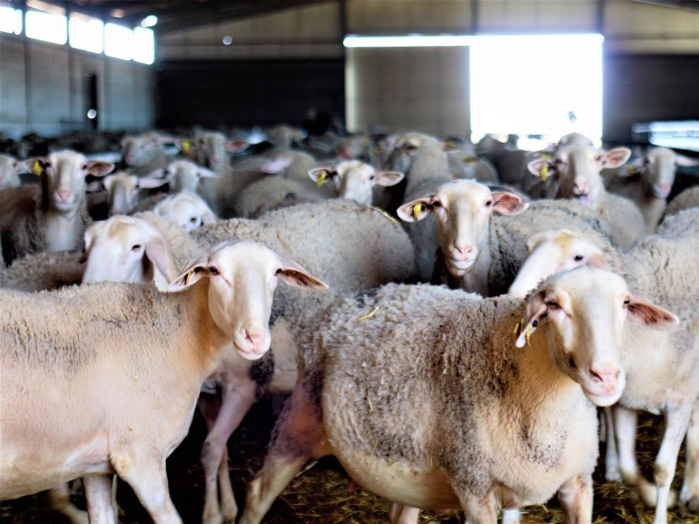 Imagen de archivo de un rebaño de ovejas.