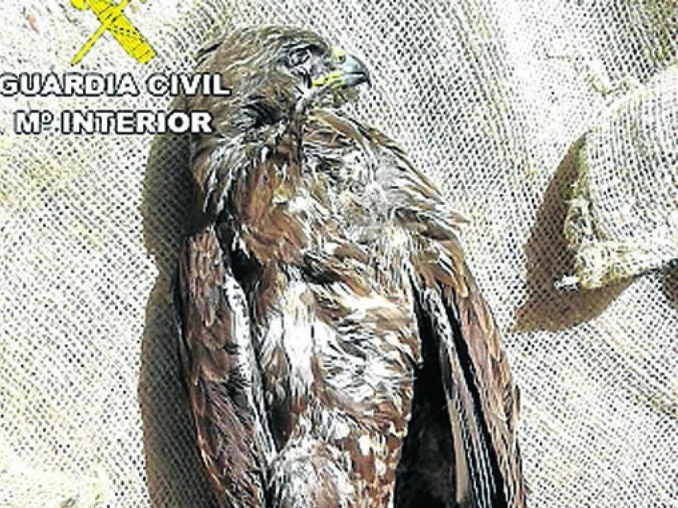 Ejemplar de águila ratonera que hallaron muerta.
