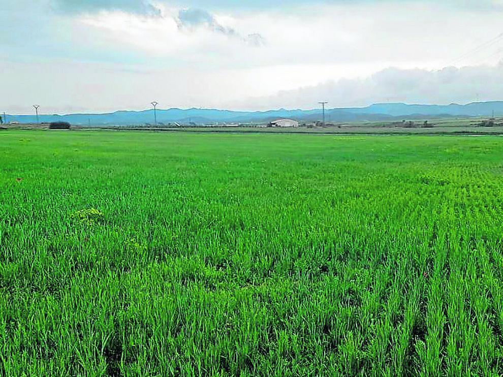 Campo de trigo en Robres después de las últimas lluvias, tras la jornada de ayer.