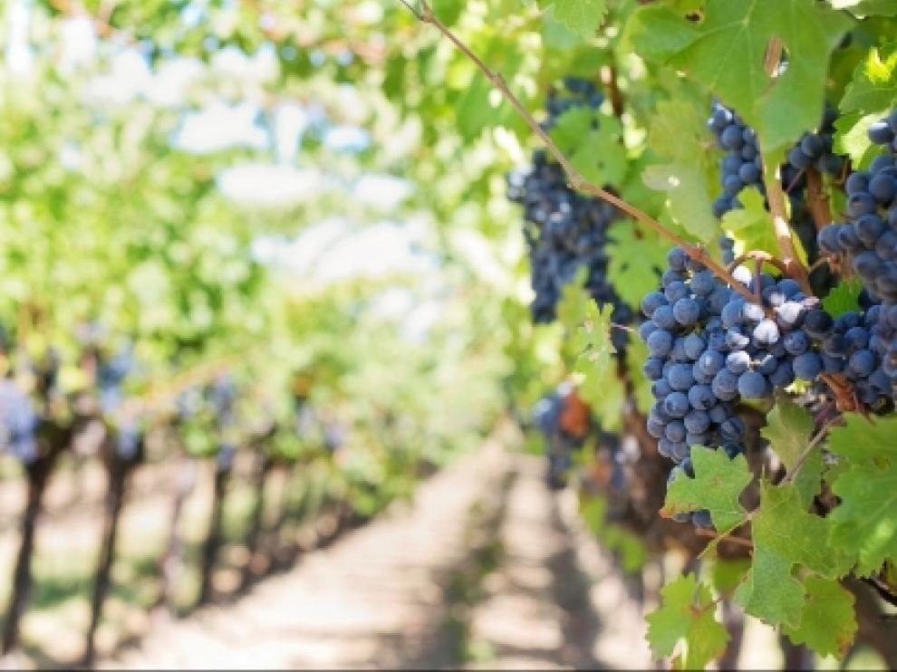 El Gobierno de Aragón publica una nueva convocatoria de subvenciones para la reestructuración y reconversión de viñedos