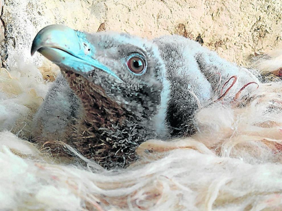 Uno de los pollos de quebrantahuesos nacidos en cautividad en el Centro de Rescate y Cría en Aislamiento Humano.