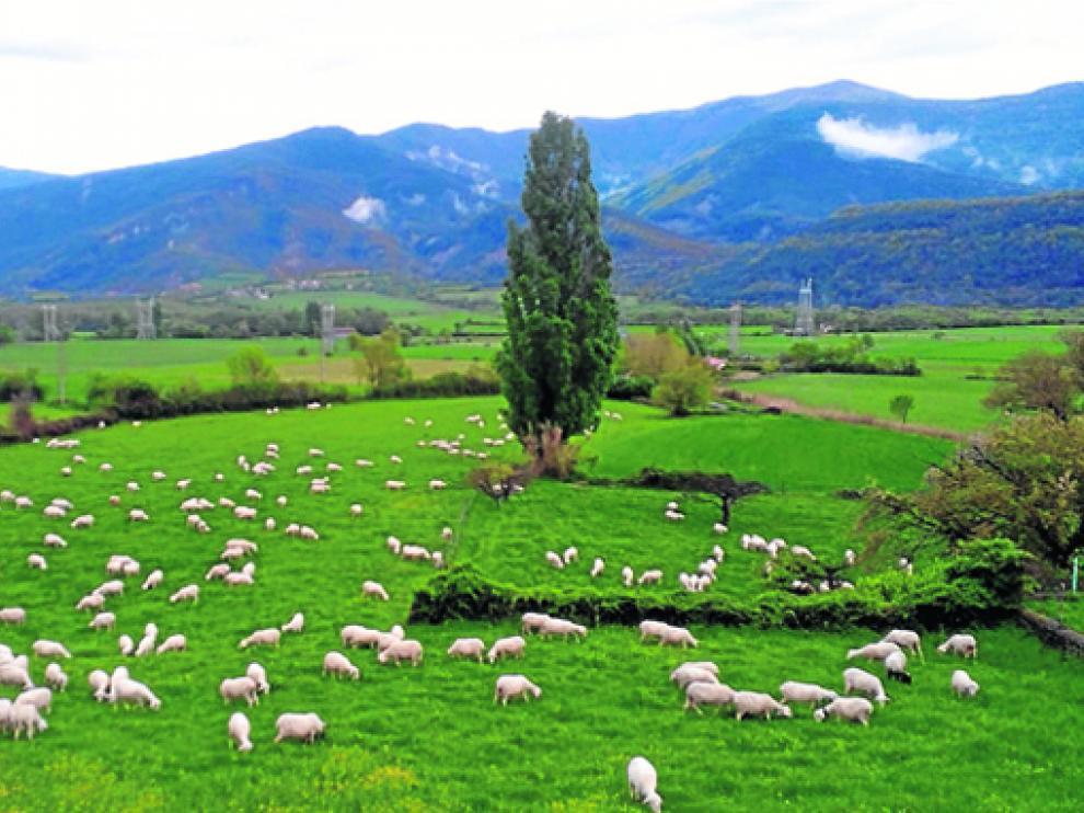 Rebaño de ovejas pastando en los campos de Senegüé.