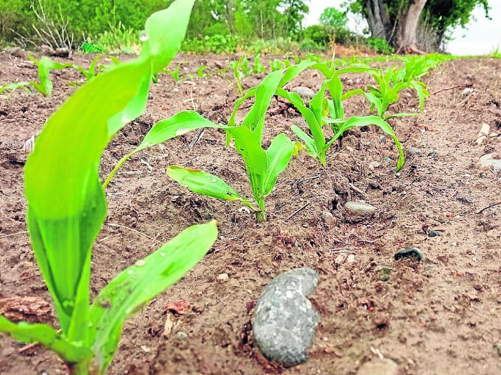 Estado actual de una plantación de maíz de consumo humano en primera siembra.