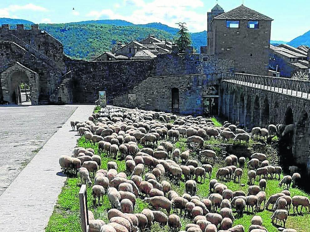 Ovejas pastando en los alrededores del castillo de Aínsa