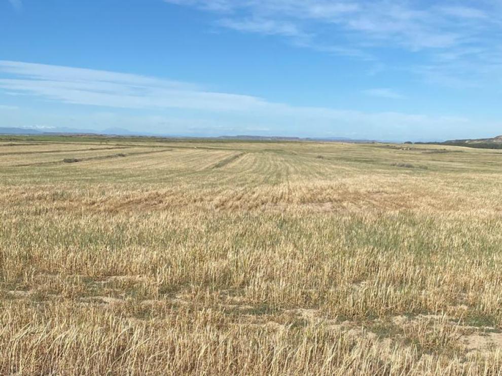 Estado que presenta un campo de cebada en la provincia de Huesca.