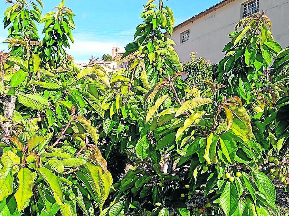 Explotación de cerezos en Bolea dañados por las heladas el pasado mes de abril.