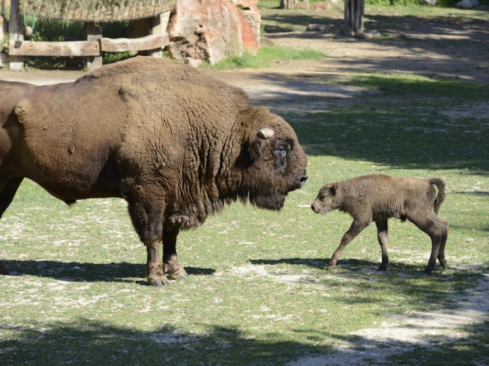 Primer bisonte europeo andaluz.