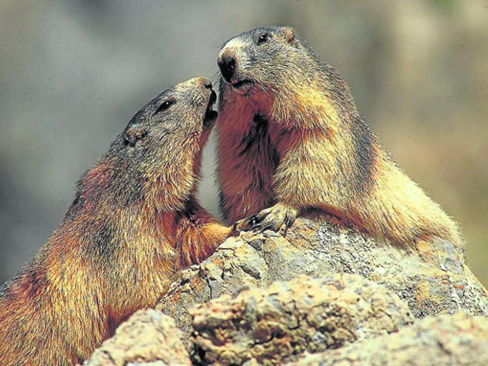 Fotografía de dos marmotas del apartado de fauna del proyecto Vivir en las alturas.