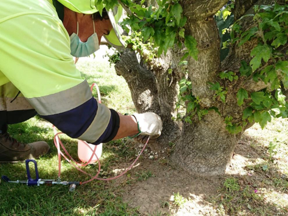 Un operario del ayuntamiento inyectando directamente el producto en el tronco