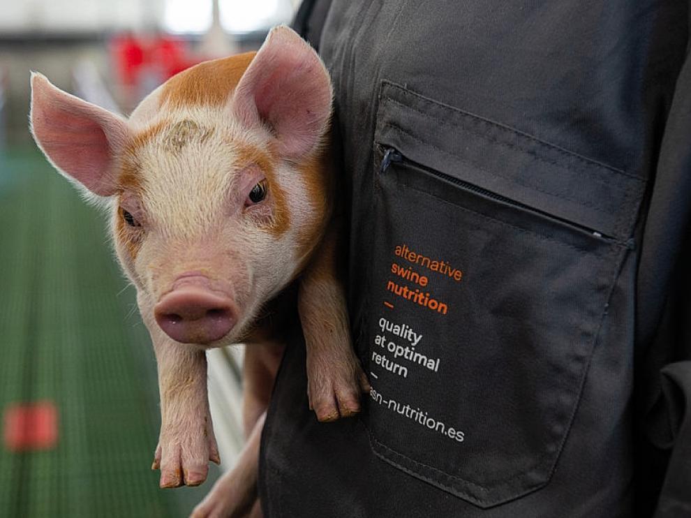 Un lechón alimentado con productos adecuados para el bienestar animal fabricados por la empresa ASN.