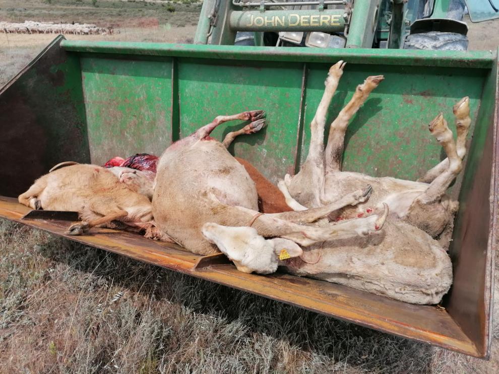 Ovejas muertas por el lobo en Tardienta