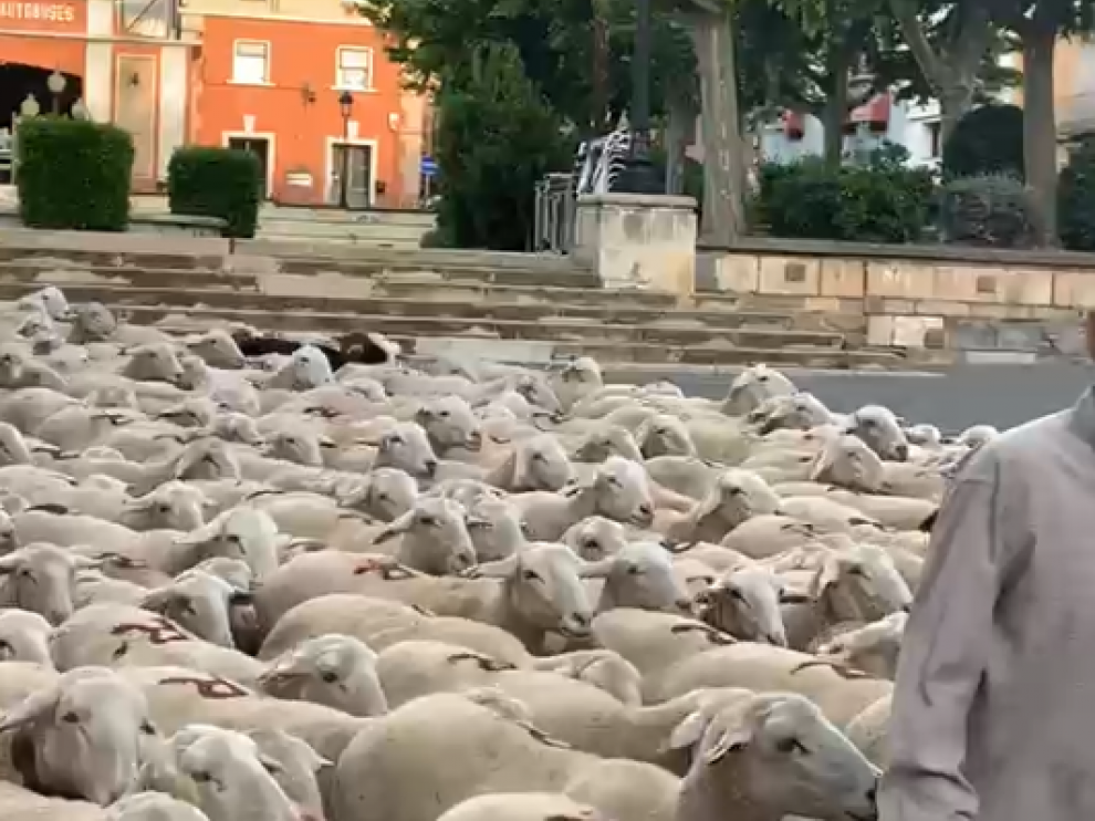 Así ha sido el paso del rebaño de ovejas por Barbastro.
