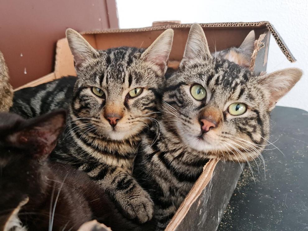 Odín y Zeus, dos gatos hermanos que están en adopción.