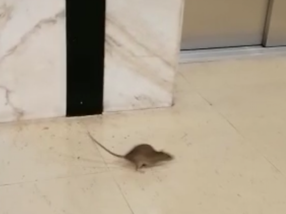 Captura del vídeo en el que puede verse al roedor