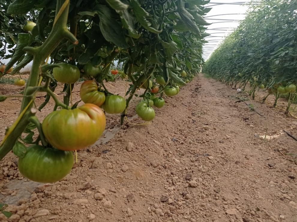 La demora en el cultivo hace que la campaña de recogida del tomate llegue más tarde.