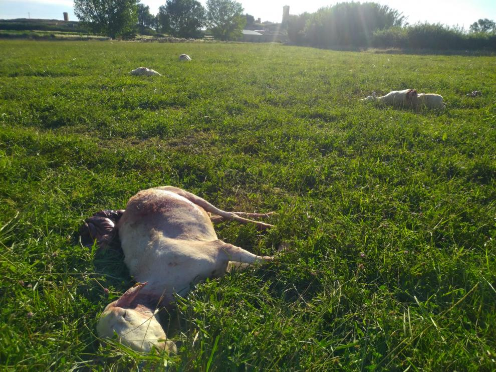 Nueve ovejas muertas y cuatro heridas en Torralba de Aragón.