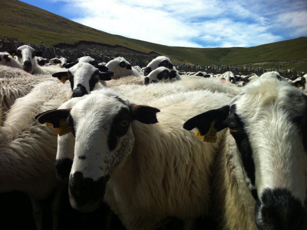 La ganadería extensiva en Ordesa