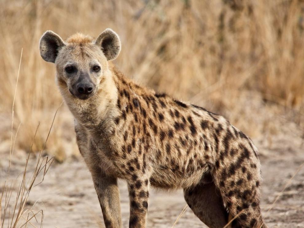 las hienas heredan las redes sociales de sus madres.