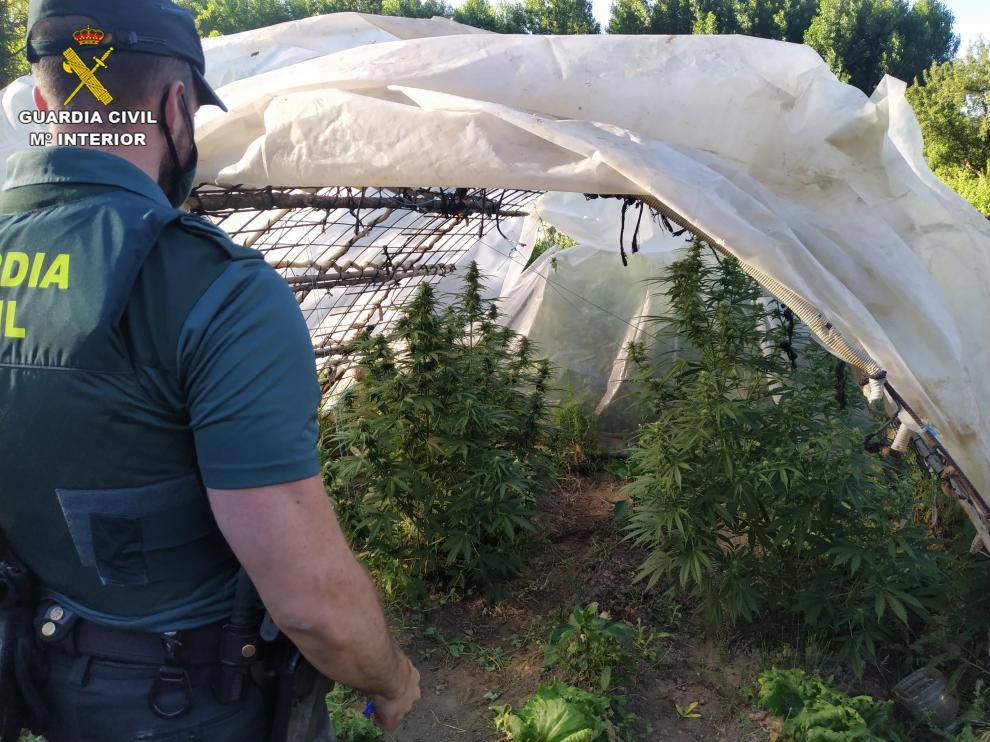 Agente de la Guardia Civil en una de las plantaciones incautadas