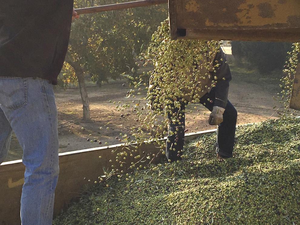 Recogida y carga de aceituna en la explotación olivar de Finca Valonga