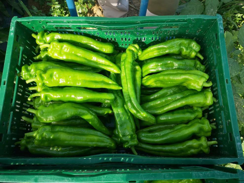 Los pimientos cultivados por primera vez en la historia de Barbastro están entre los 130 y los 140 gramos de peso