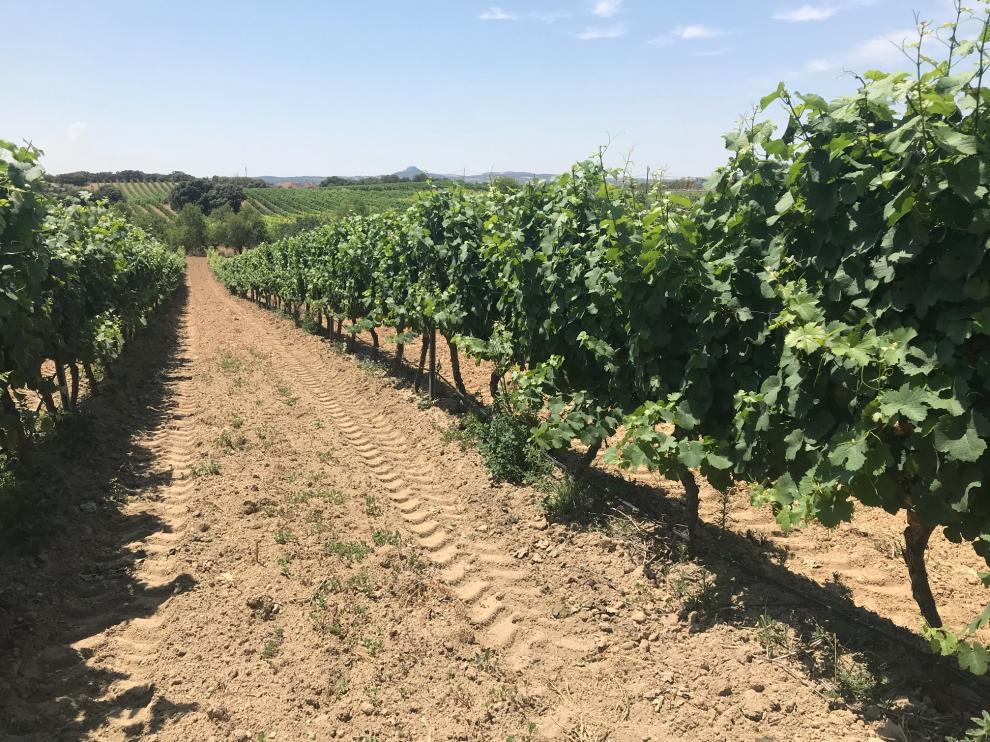 Aspecto de viñedos de la D. O. Somontano en esta campaña.