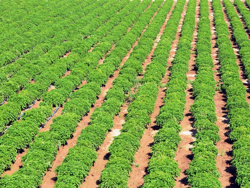 El vivero Huerta Barbereta prevé que salga toda la plantación de albahaca y las ventas se mantengan.