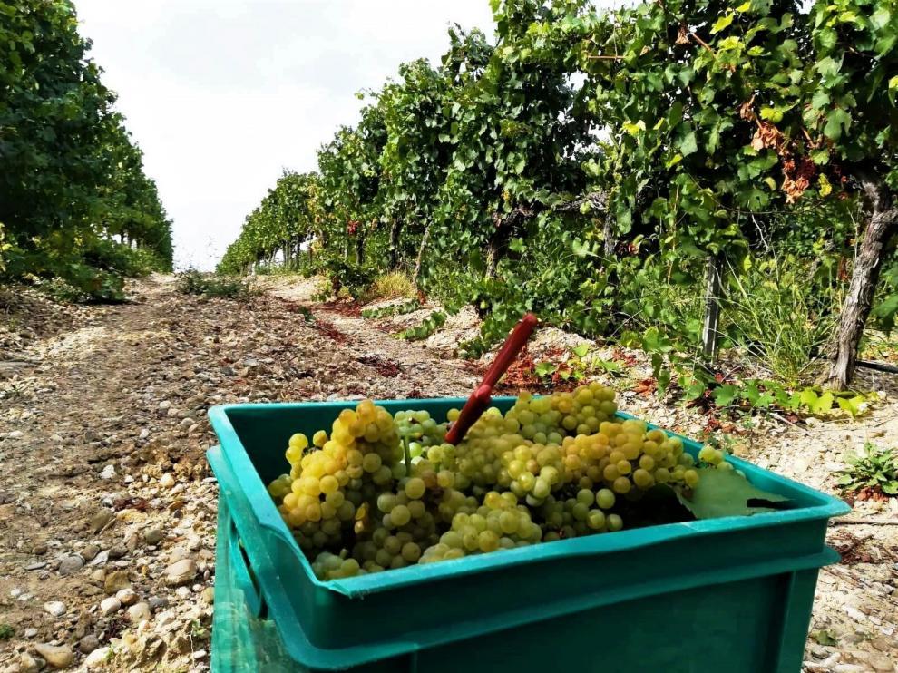 Uvas recogidas durante la vendimia de este 2021